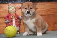 Shiba Inu Puppies for sale in Houston, TX, USA. price: NA