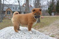 Shiba Inu Puppies for sale in Kansas City, MO, USA. price: NA