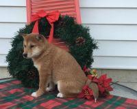 Shiba Inu Puppies for sale in Calabasas, CA, USA. price: NA