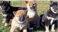 Shiba Inu Puppies for sale in Ashburnham, MA, USA. price: NA
