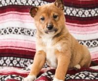 Shiba Inu Puppies for sale in Orlando, FL, USA. price: NA