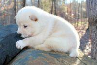 Shiba Inu Puppies for sale in Charlotte, NC 28202, USA. price: NA