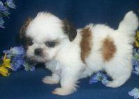 Shiba Inu Puppies for sale in Milwaukee, WI 53233, USA. price: NA