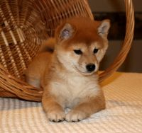 Shiba Inu Puppies for sale in Sacramento St, Los Angeles, CA 90021, USA. price: NA
