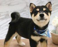 Shiba Inu Puppies for sale in Warren, MI, USA. price: NA
