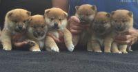 Shiba Inu Puppies for sale in North Bergen, NJ, USA. price: NA
