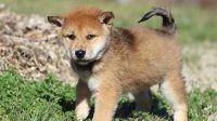 Shiba Inu Puppies for sale in Atlanta, GA 30384, USA. price: NA