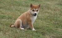 Shiba Inu Puppies for sale in Louisville, KY, USA. price: NA