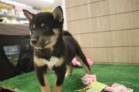 Shiba Inu Puppies for sale in New York, NY, USA. price: NA