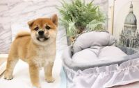 Shiba Inu Puppies for sale in Aztec, NM, USA. price: NA