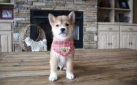 Shiba Inu Puppies for sale in Eastpointe, MI 48021, USA. price: NA