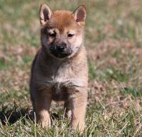 Shiba Inu Puppies for sale in MAFB GUN ANNX, AL 36114, USA. price: NA