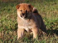 Shiba Inu Puppies for sale in Menomonie, WI 54751, USA. price: NA