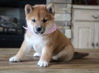 Shiba Inu Puppies for sale in Seattle, WA, USA. price: NA