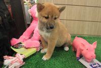 Shiba Inu Puppies for sale in Orange Beach, AL, USA. price: NA