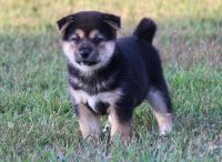 Shiba Inu Puppies for sale in Bethesda, MD, USA. price: NA