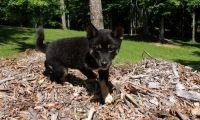 Shiba Inu Puppies for sale in Harpersville, AL, USA. price: NA