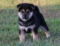 Shiba Inu Puppies for sale in Santa Monica, CA, USA. price: NA
