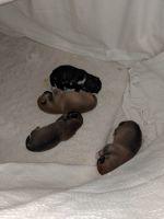 Shiba Inu Puppies for sale in Streamwood, IL, USA. price: NA
