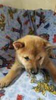 Shiba Inu Puppies for sale in Chippewa Falls, WI 54729, USA. price: NA