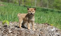 Shiba Inu Puppies for sale in Kansas City, KS, USA. price: NA