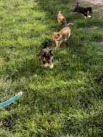 Shiba Inu Puppies for sale in McCook, NE 69001, USA. price: NA
