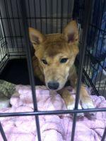 Shiba Inu Puppies for sale in Homestead, FL, USA. price: NA
