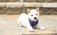 Shiba Inu Puppies for sale in Clarkesville, GA 30523, USA. price: NA
