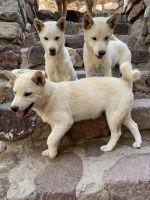 Shiba Inu Puppies for sale in El Paso, TX, USA. price: NA