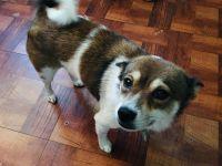 Shiba Inu Puppies for sale in 12300 NE 4th Ave, North Miami, FL 33161, USA. price: NA