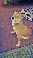 Shiba Inu Puppies for sale in UPPR CHICHSTR, PA 19061, USA. price: NA