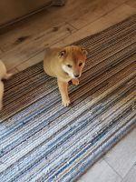 Shiba Inu Puppies for sale in Tipton, MO 65081, USA. price: NA