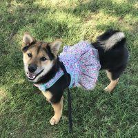 Shiba Inu Puppies for sale in Phoenix, AZ, USA. price: NA