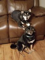 Shiba Inu Puppies for sale in Rock Falls, IL 61071, USA. price: NA