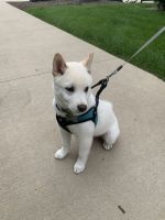 Shiba Inu Puppies for sale in State College, PA 16803, USA. price: NA