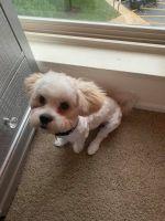Shiba Inu Puppies for sale in Washington, DC, USA. price: NA