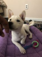 Shiba Inu Puppies for sale in Staten Island, NY, USA. price: NA