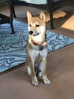 Shiba Inu Puppies for sale in Marietta, GA, USA. price: NA