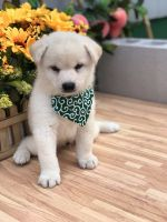 Shiba Inu Puppies for sale in Flushing, NY 11358, USA. price: NA