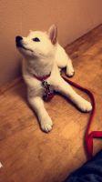 Shiba Inu Puppies for sale in Pensacola, FL, USA. price: NA