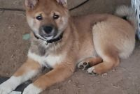 Shiba Inu Puppies for sale in Spring Grove, PA 17362, USA. price: NA
