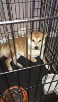 Shiba Inu Puppies for sale in Jacksonville, FL 32221, USA. price: NA