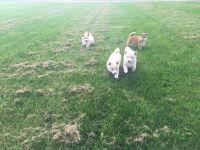 Shiba Inu Puppies for sale in Sheldon, WI 54766, USA. price: NA