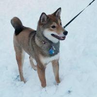 Shiba Inu Puppies for sale in 212 Washington Ave, Towson, MD 21204, USA. price: NA