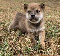 Shiba Inu Puppies for sale in Somerville, TN 38068, USA. price: NA