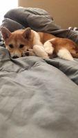 Shiba Inu Puppies for sale in Apopka, FL, USA. price: NA