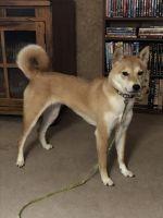 Shiba Inu Puppies for sale in Ottumwa, IA 52501, USA. price: NA