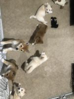 Shiba Inu Puppies for sale in Madison, WI, USA. price: NA
