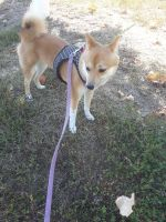Shiba Inu Puppies for sale in High Point, NC, USA. price: NA