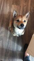 Shiba Inu Puppies for sale in Tampa, FL, USA. price: NA